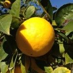 caring for a lemon tree-link