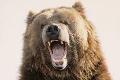 Buzzing: A Man Wearing a Bear Costume Is Harassing Bears in Alaska Wild Animals List, Animals And Pets, Cute Animals, Bear Photos, Bear Pictures, Ours Grizzly, Grizzly Bears, Bear Sketch, Angry Bear
