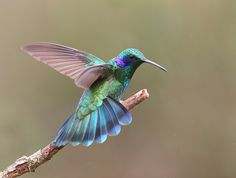 green violetear -- beautifully colored