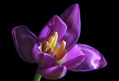 http://images.fineartamerica.com/images-medium-large/purple-tulip-terence-davis.jpg