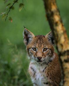 Little Lynx - null