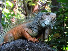 iguana-male-in-forest.jpg (4000×3000)
