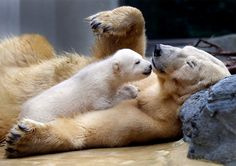 Anori, a female polar cub, plays with its mother Vilma in their outdoor enclosure at the Zoo in Wuppertal, Germany. Anori was born in January, and left the birth cave for the first time today. (by Frank Augstein)