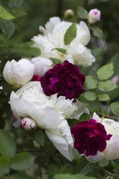 White peonies with purple roses.