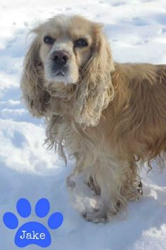 "URGENT!!! Sweet cocker spaniel ""JAKE"" needs a loving home asap! Available on: 2/12Contact: fofmcdp@gmail.comJake (ID #123) is an adorable 5-year-old male Cocker Spaniel surrendered by his owner (reasons unknown). Jake is said to not do well with children. He is in desperate need of some grooming. Jake is..."