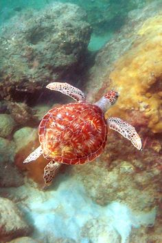 senerii: green sea turtle - (by Daniel Brimacombe). Topo Gigio said the turtle looks red, though. Baby Sea Turtles, Cute Turtles, Turtle Baby, Pet Turtle, Beautiful Creatures, Animals Beautiful, Fauna Marina, Tortoise Turtle, Turtle Love