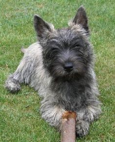Cairn Terrier-- looks just like my Sparky