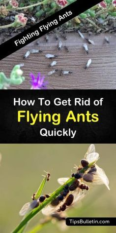 fighting flying ants how to get rid of flying ants quickly gatos rh pinterest com
