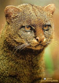Jaguarundi - small-sized wild cat native to Central and South America