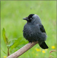 Jackdaw - Choucas des tours Choucas Des Tours, Animals And Pets, Cute Animals, Garden Birds, Jackdaw, Blackbirds, British Wildlife, Funny Birds, Animal Totems