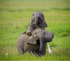 Playful Baby Elephants By South Africa . Playful Baby Elephants By South Africa . Cute Baby Elephant, Cute Baby Animals, Animals And Pets, Funny Animals, Elephant Elephant, Nature Animals, All About Elephants, Save The Elephants, Baby Elephants