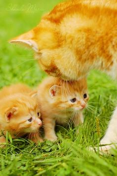 Tiny Ginger Tabbies