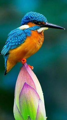 A common kingfisher (Alcedo atthis) perched on a lotus bud. This beautiful bird with iridescent blue feathers is distributed across Eurasia and North Africa. Pretty Birds, Love Birds, Beautiful Birds, Animals Beautiful, Common Kingfisher, Kingfisher Bird, Exotic Birds, Colorful Birds, Vogel Gif