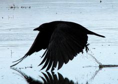Awesome Shot!!! Crow looks like it's taking off of the Water!! by Crappy Wildlife Photography