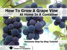 How To Grow A Grape Vine At Home In A Container - http://www.hometipsworld.com/how-to-grow-a-grape-vine-at-home-in-a-container.html