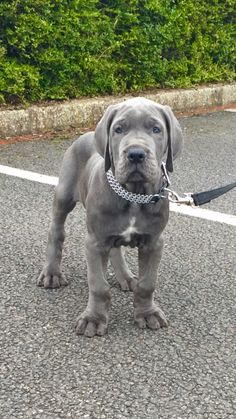 8 week old Blue Great Dane named Loki.