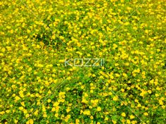 field of yellow flowers - Scenic view of field with yellow flowers in abundance