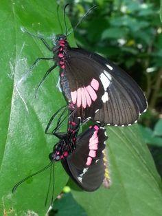 Mariposas copulando.