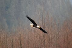 Best time to see bald eagles in Skagit Valley