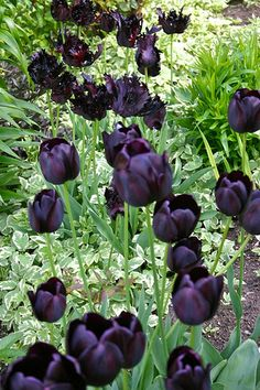 """Black"" tulips...my wedding flowers"
