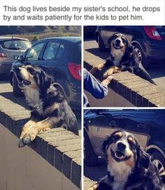 I love this.  I had a pure Bernese Mountain Dog, Chloe, and she used to walk two houses to the bus stop and see the little kids off to school each morning just so she could cuddle and be cuddled by the children.   It was great.  She was a total love and it made all the kids happy.