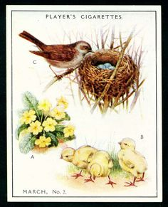"""Player's Cigarettes  """"A Nature Calendar"""" (series of 24 large cards issued in 1930) #6 March (2)"""