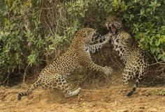 Winners of Wildlife Photographer of the Year 2013 - the Three Brothers River in Brazil's Pantanal. Female jaguar not happy with male courtship! She rose, growled n suddenly charged, slamming the male back as he reared up to avoid her outstretched claws. Wild Life, Joe Mcdonald, Photo Animaliere, Nature Sauvage, Concours Photo, Tier Fotos, Wild Nature, History Museum, Wildlife Photography