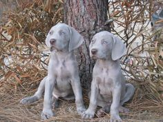 Dixie and Rebel ! Cute Puppies, Dogs And Puppies, D Is For Dog, Weimaraner Puppies, All Things Cute, Winter Snow, Sadie, Girls Best Friend, Adorable Animals