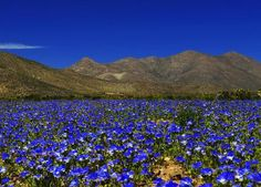 Atacama desert blooms-2015. Here, gorgeous blue and white flowers dot the landscape of the Atacama Desert. These flowers pop up overnight. (Photo credit: Tomás Cuadra Ordenes)