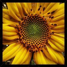Love #Sunflowers!!! Taken at #MommasGoden!!! #Yellow #Flowers #Garden https://www.facebook.com/mommasgoden10/