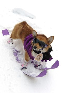 Penelope is ready to hit the bunny slopes! zomg. purpled out corgi!