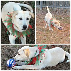 ADOPT ME/// Looking for the perfect Christmas present for yourself or your family?  Here she is.  Angel is a five month old yellow lab mix pup who is as sweet as she is cute.....Almost Home Animal Rescue Blount Co. TN