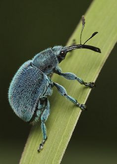 weevil por Troup1 en Flickr (cc)
