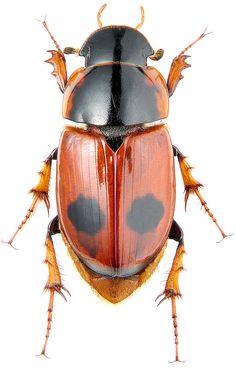 aphodius_bimaculatus_b.jpg (512×800)