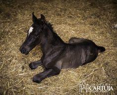 Nuestro último miembro de la familia  de la yeguada de la Cartuja. 1 día de vida / 1 day old foal . #cartujano #yeguadacartuja #carthusian #PRE #purarazaespañola #andalucia #jerez