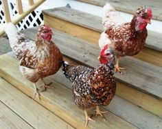 Swedish Flower Hens have varying types of coloring. (Skansk Blommehӧna)