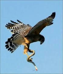 Hawk and snake Eagle Pictures, Animal Pictures, Nature Animals, Animals And Pets, Aigle Animal, Peregrine Falcon, Red Tailed Hawk, Animal Totems, Birds Of Prey