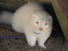 32 Gorgeous Albino Animals It's hard to miss these ghostly creatures. Cute Ferrets, Hamsters, Amazing Animals, Animals Beautiful, Animals And Pets, Funny Animals, Rare Albino Animals, Exotic Animals, Melanistic Animals