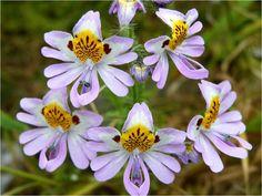 Flores del Desierto de Atacama.