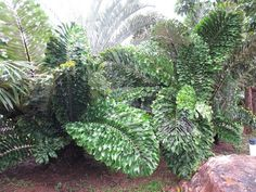 Arenga undulatifolia at Nong Nooch Tropical Garden, Pattaya, Thailand. Native to Borneo & the Philippines. Unusual Plants, Rare Plants, Exotic Plants, Cool Plants, Tropical Plants, Tropical Gardens, Tropical Backyard, Tropical Landscaping, Landscaping With Rocks