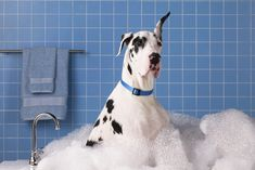 Proper canine home hair care can be a bit challenging. Brushing up on your dog grooming IQ will help pet lovers to groom their dog like a pr. Dane Dog, Dog Cat, Big Dogs, Dogs And Puppies, Dogs 101, Animals And Pets, Cute Animals, Dog Smells, Pet Odors