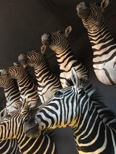 Recent opgezette zebrakoppen. zebrakop te koop