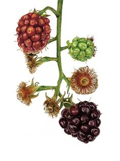 "Anna Mason Art   Blackberry 'Fantasia' Botanical print from an original watercolor £95,  12"" x 16"",  Shipped worldwide http://annamasonart.com"