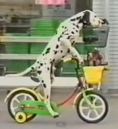 Happy National Dog Day So We Present Dogs Racing Tricycles Video