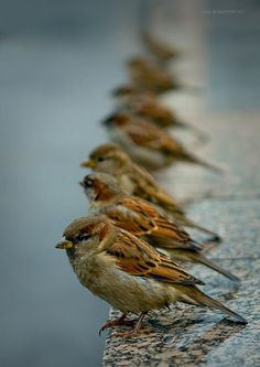 Sparrows. Photo by Rustem Sharapov