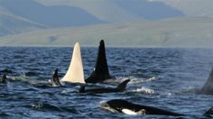 iceberg, a leucistic / albino killer whale spotted off the coast of alaska. to know more about other white whales, see http://blogs.smithsonianmag.com/science/2013/09/call-me-migaloo-the-story-behind-real-life-white-whales/