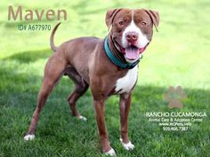 Meet MAVEN, a Petfinder adoptable Pit Bull Terrier Dog | Rancho Cucamonga, CA | Petfinder.com is the world's largest database of adoptable pets and pet care information....