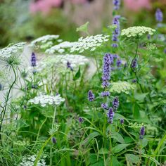 Pollinator-friendly combination of ammi and agastache