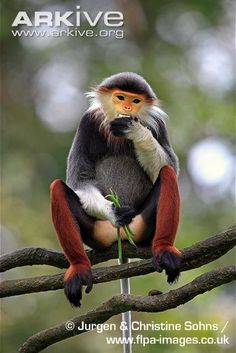 Gray-shanked douc langur - native to the Vietnamese provinces of Quảng Nam, Quảng Ngãi, Bình Định, Kon Tum, and Gia Lai, total population is estimated at 550 to 700 (classified as Critically Endangered (CR) by the IUCN Red List)