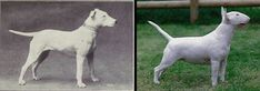 "100 years of Dog Breed ""Improvement""  Disturbing photos of how dog breeding has ... ruined many dog breeds."